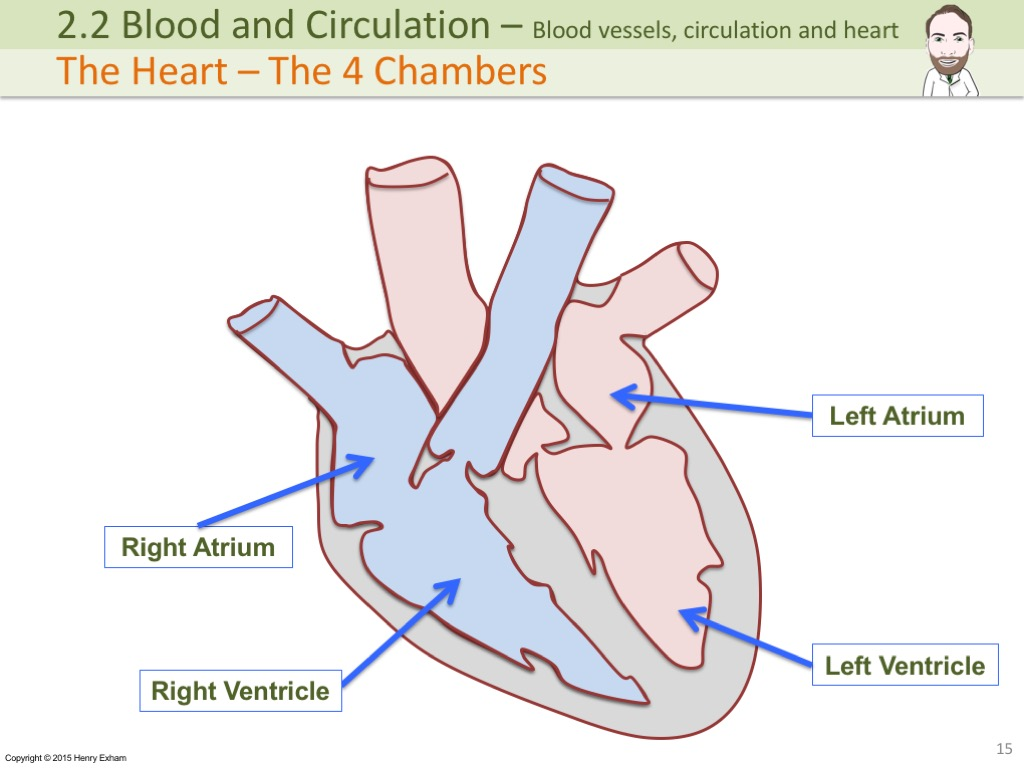 2.3 Blood and Circulation | Mr Exham.com Making Sense of Biology